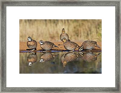 Northern Bobwhite (colinus Virginianus Framed Print by Larry Ditto