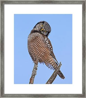 Northern Hawk Owl Framed Print
