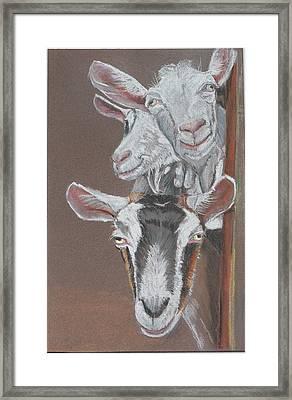 3 Nosey Goats Framed Print