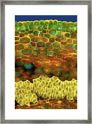 Oak Leaf Stalk Framed Print by Marek Mis