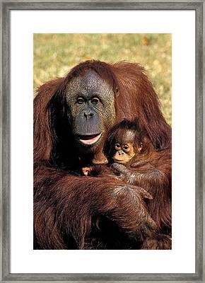 Orang Utan Pongo Pygmaeus Framed Print by Gerard Lacz