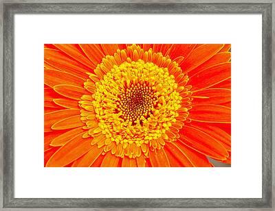 Orange Gerber Framed Print by Borislav Marinic