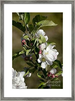Orchard  Blooming Apple Trees. Framed Print by Bernard Jaubert