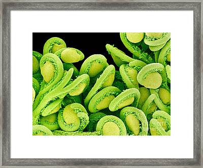 Orchid Cactus Ovules, Sem Framed Print