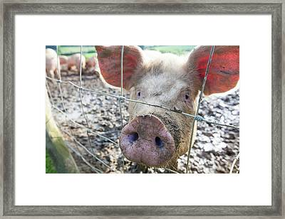 Organic Middle White Pigs Framed Print by Ashley Cooper