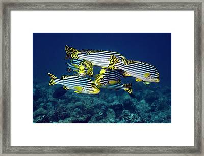 Oriental Sweetlips Fish Framed Print