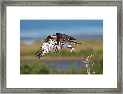 Osprey (pandion Haliaetus Framed Print by Larry Ditto