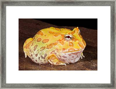 Pac Man Frog Ceratophrys Framed Print by David Kenny
