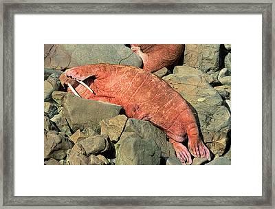 Pacific Walrus (odobenus Rosmarus Framed Print by Martin Zwick