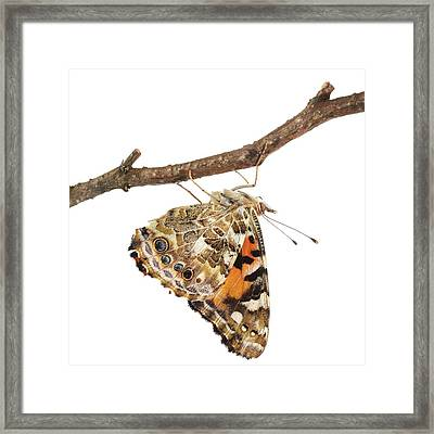 Painted Lady Butterfly Framed Print by Science Photo Library