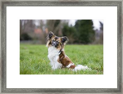 Papillon Dog Framed Print by Johan De Meester