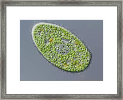 Paramecium Bursaria Ciliate Framed Print