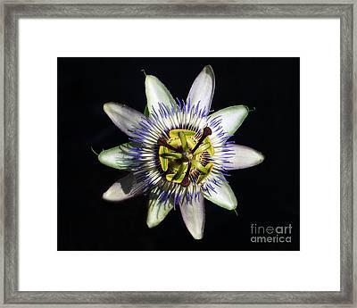 Passion Flower Framed Print by Debra Thompson