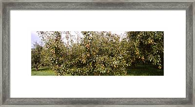 Pear Trees In An Orchard, Hood River Framed Print