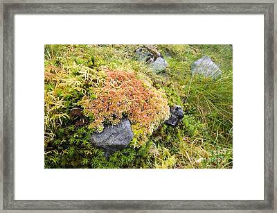 Peat Moss Sphagnum Sp Framed Print by Duncan Shaw