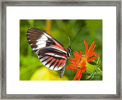 Piano Key Butterfly Framed Print by Millard H Sharp
