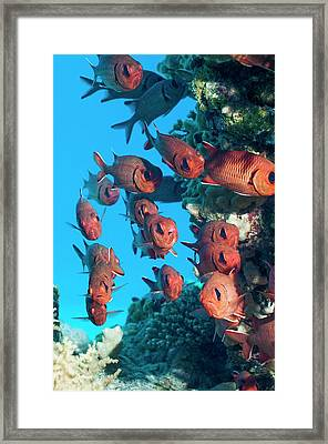 Pinecone Soldierfish Framed Print by Georgette Douwma