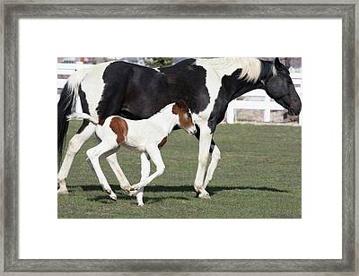 Pinto Oldenburg Warmblood Foal Framed Print