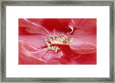 Framed Print featuring the photograph Pollen Covered Altissimo Rose by June Holwell