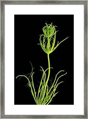 Pondweed Framed Print by Dr Keith Wheeler