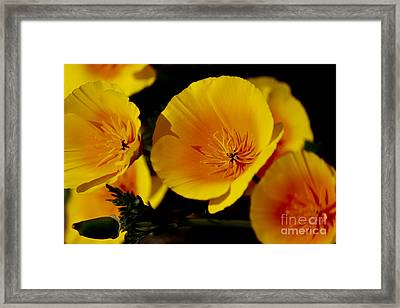 Poppy Flowers Framed Print by Ivete Basso Photography