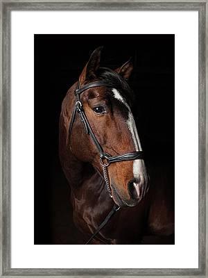 Portrait Of A Lusitano Stallion Framed Print