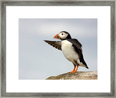 Puffin On The Farne Islands Great Britain Framed Print