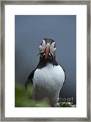 Puffin With Fish Framed Print