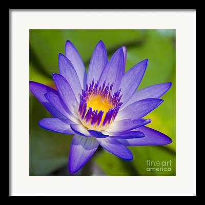 Panama Pacific Water Lily Framed Prints