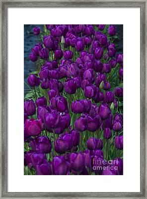 Purple Tulips Framed Print by Mandy Judson