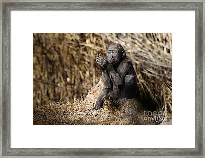 Quiet Juvenile Gorilla Framed Print