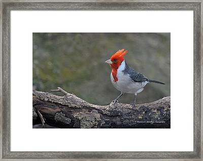 Red-capped Cardinal Framed Print