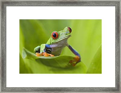 Red-eyed Tree Frog Costa Rica Framed Print by Suzi  Eszterhas