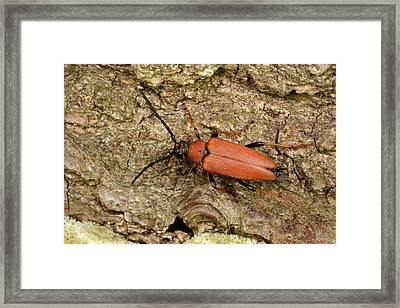 Red Longhorn Beetle Framed Print by Nigel Downer