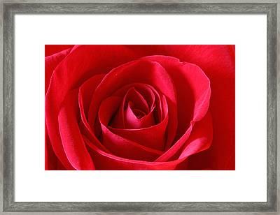 Red Rose Framed Print by Peter Lakomy