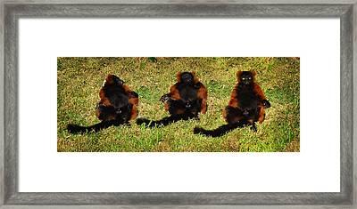 3 Red Ruffed Lemur Boys Framed Print by Xueling Zou