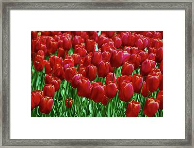 Framed Print featuring the photograph Red Tulips  by Allen Beatty