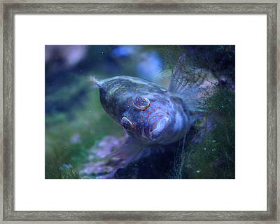 Framed Print featuring the photograph Redspotted Hawkfish  by Savannah Gibbs