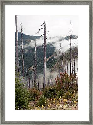 Regenerating Forest, Washington, Usa Framed Print