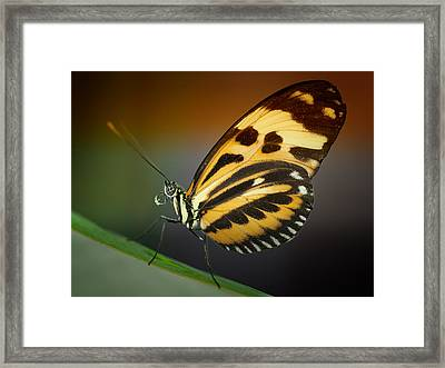 Framed Print featuring the photograph Resting Butterfly by Zoe Ferrie