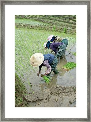 Rice Cultivation In Yunnan Province Framed Print