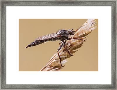 Robber Fly Framed Print