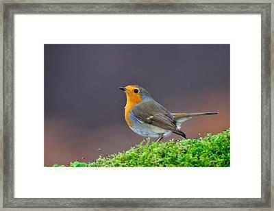 Robin Framed Print