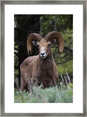 Rocky Mountain Bighorn Sheep Ram Framed Print by Ken Archer