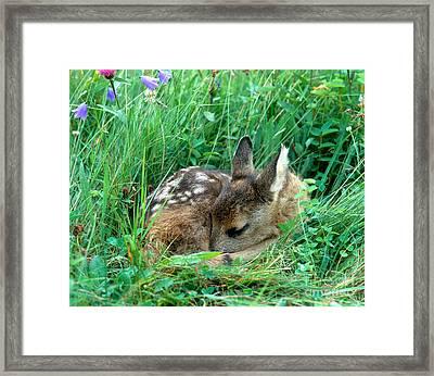 Roe Deer Framed Print by Hans Reinhard