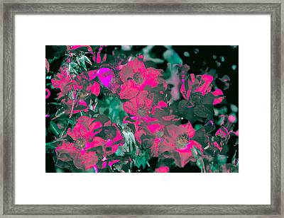 Rose 72 Framed Print by Pamela Cooper