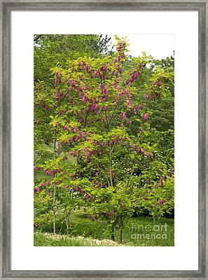 Rose Acacia Robinia Hispida Framed Print