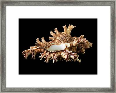 Rose-branch Murex Framed Print by Natural History Museum, London