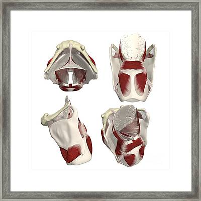 Rotation Of The Thyroid Framed Print by Medical Images, Universal Images Group