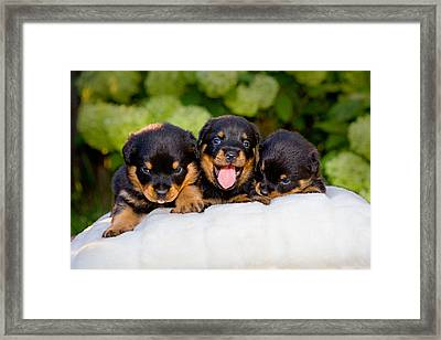 3 Rottweiler Puppies Framed Print by James O Thompson